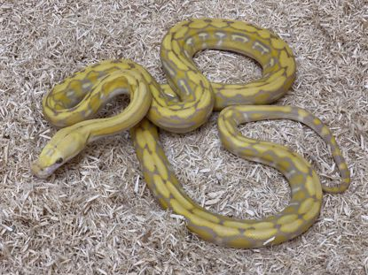 Picture of Male Super Dwarf Purple Tiger Reticulated Python